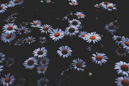 portrait photo of daisy flowers